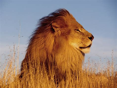 gambar singa indonesiadalamtulisan terbaru