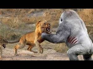 BİG BATTLE Gorilla vs Lion Real Fight to Death Baboon ...