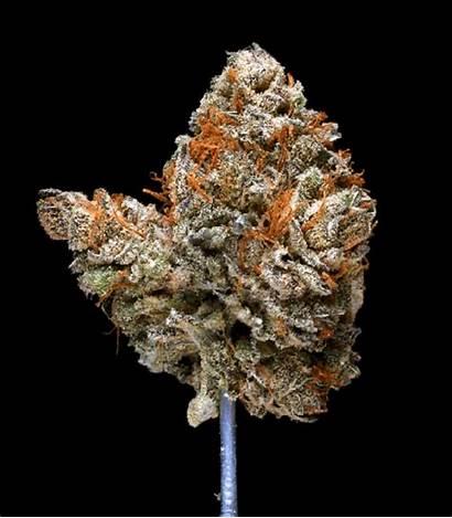 Kush Hindu Cannabis Spinning Hawgs Breath Strains