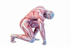 Anatomy  Muscles Stock Illustration  Illustration Of