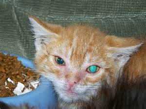 Cat diseases - feline Cats, Infections from