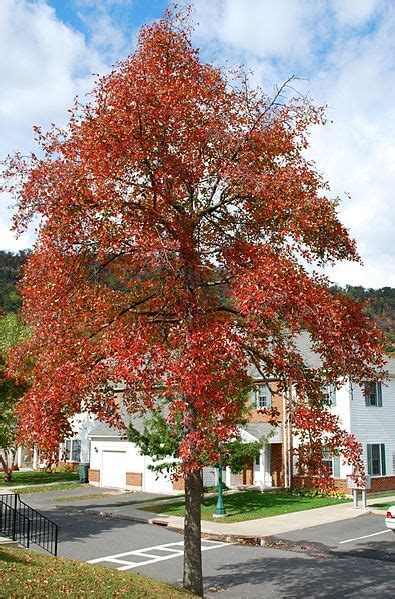 black tupelo  native american fruit tree eat  planet