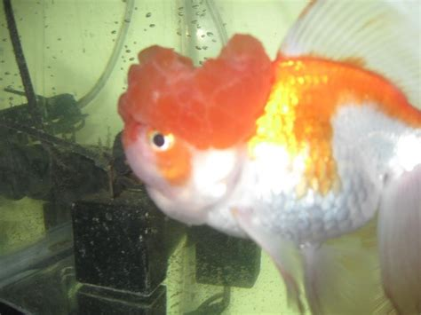 oranda goldfish heads  bruising  fish