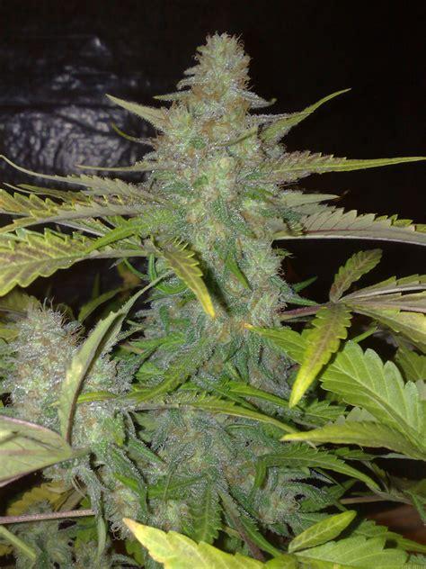northern lights  white label seedfinder strain info