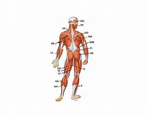 Major Muscles Of The Body Posterior
