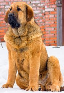 dog food  spanish mastiffs  top picks pawdiet
