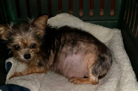 Fundraiser By Linda Woodall Peterson Dumped Pregnant Tiny Yorkie