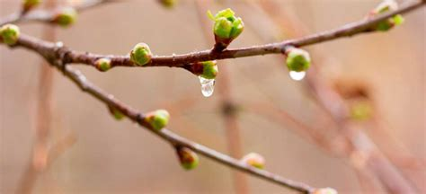 buds tree care watch out bud what happens if a tree buds too early premier tree solutions