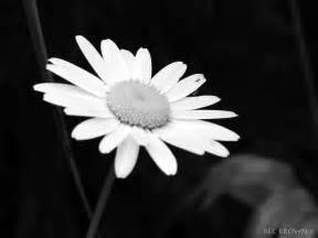 Black and White Daisy Photography