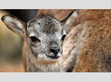 National Animal Of Cyprus Cypriot Mouflon 123Countriescom