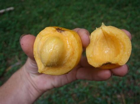 khasiat buah asam kandis  kesehatan bibitbungacom