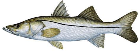 snook common fishing fish eating captiva sanibel charters guide service report captivafishing