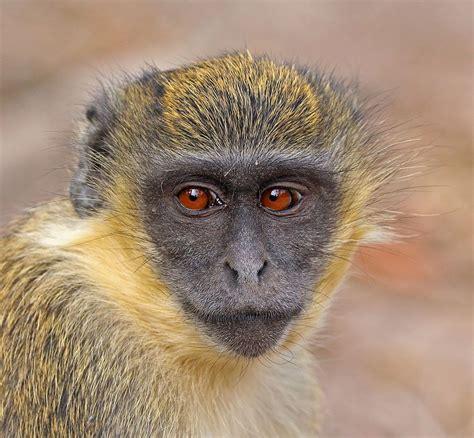 Green Monkey Wikipedia