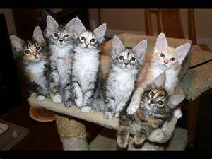 Silver Classic Tabby Maine Coon Kittens - YouTube