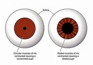 How Do Pupils Change In Size With Dim And Bright Light