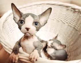 bald cats you re wrong if you think sphynx cats are creepy mnn