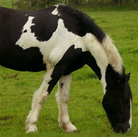 cow horse redbubble