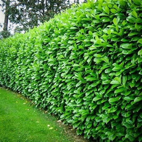vines for privacy privacy with plants the garden glove