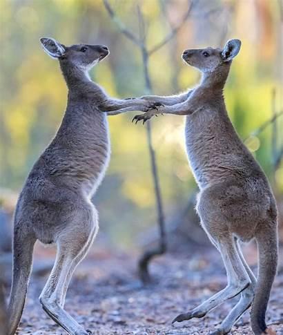 Fight Boxing Kangaroos Caters Each Play Kangaroo