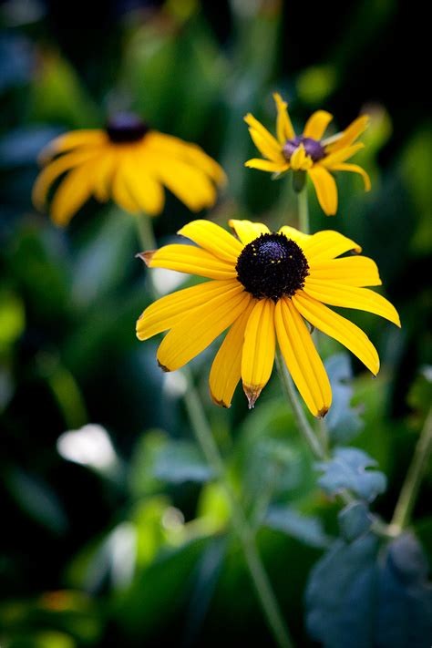 black eyed susan black eyed susan dooce 174