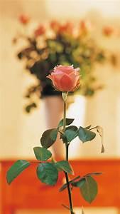 Pure Elegant Pink Rose Vase Bokeh Blurry #iPhone #6 #plus ...