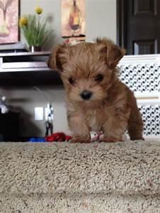 A Morkie puppy... :) : aww