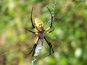 Beneficial Insects Spiders | Ediblesanmarcos's Blog