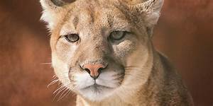 Cougar Spotted In Illinois Fatally Shot By Officer  Photo
