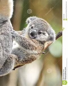 Australian Koala Bear Cute Baby Stock Photo - Image: 24313196