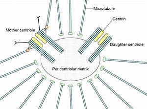 Centrosome