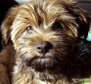 Harley the Silky Terrier/ Shih-Tzu mix | Puppies | Daily Puppy