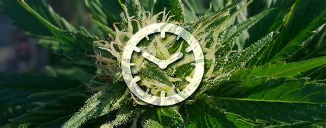 graine de cannabis interieur feminise 28 images purple power femelle high supplies graine