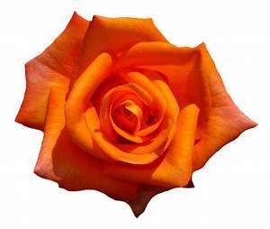 Orange Rose Flower Top View Png Image