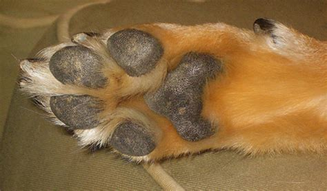 generic species    paw pads