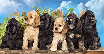Spaniel Cocker Breed Puppies Dogs English Coat