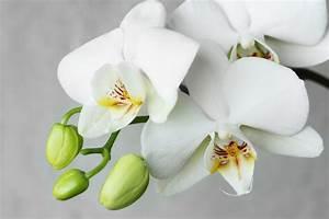 Schöne Orchideen Bilder : orchideen so sorgen sie f r eine lange bl tezeit ~ Orissabook.com Haus und Dekorationen