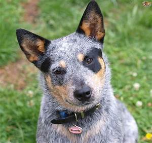 Australian Cattle Dog Red Heeler Puppies