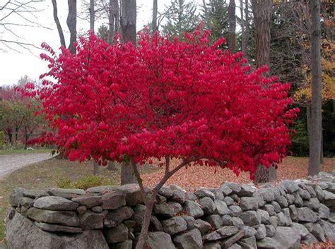 burning bush plant this burning bush shouts with color times union