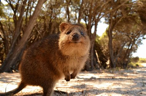 prove   quokka    cutest