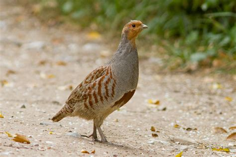 Grey Partridge 110511 Perdix perdix