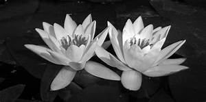 Water Lilies In Black And White by ShipperTrish on DeviantArt