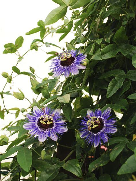 Kletterpflanzen Mit Blüten by Immergr 252 Ne Kletterpflanzen F 252 R Die Raumgestaltung Verwenden