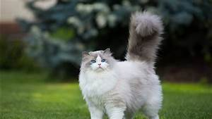 White, And, Gray, Persian, Cat, Grass, Green, Blue, Eyes, 4k, Hd, Wallpapers
