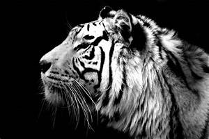 Tiger Face Wallpapers - Wallpaper Cave