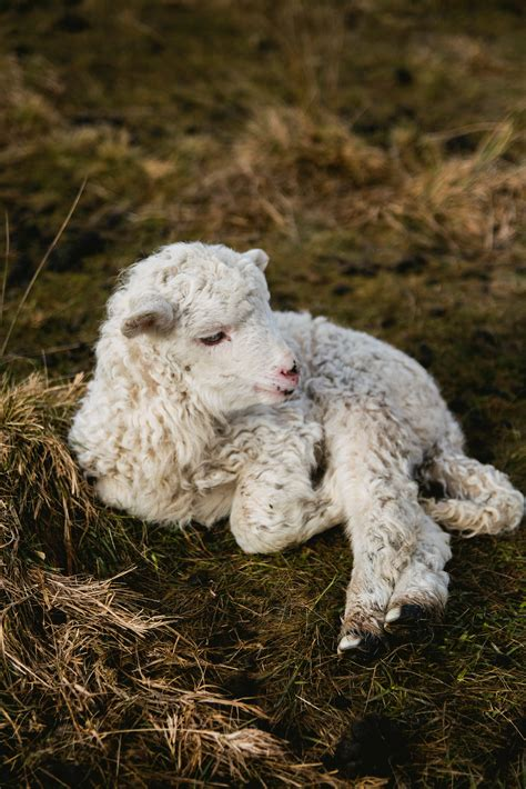 white lamb  fence  stock photo
