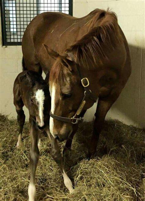 born winners triple crown pharoah american irish horses thoroughbred dam his