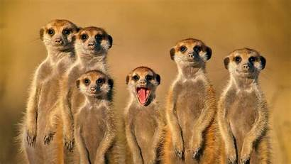 Mouth Open Animals Face Nature Wallpapers Meerkats