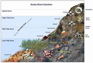 Intertidal Zone Diagram