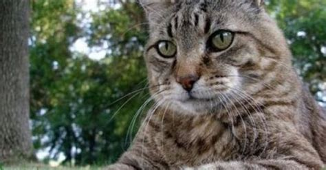 tabby cat shedding types of cats breeds non shedding cat breeds cat