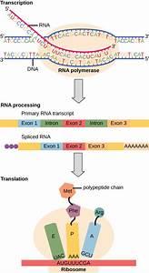 The Genetic Code  U00b7 Biology